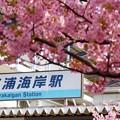 写真: 河津桜~三浦海岸~ 007