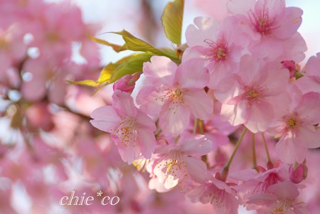 河津桜~三浦海岸~ 002
