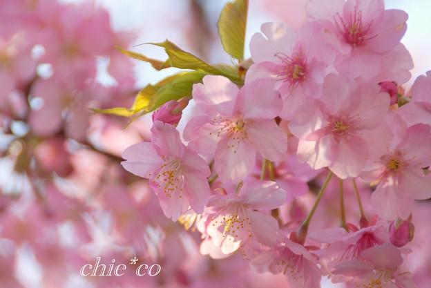写真: 河津桜~三浦海岸~ 002