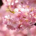写真: 河津桜~三浦海岸~ 006