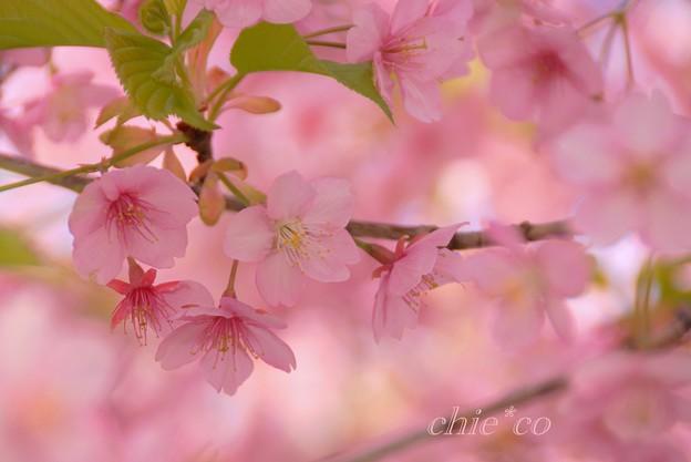 河津桜~三浦海岸~ 009