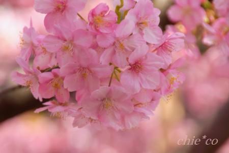河津桜~三浦海岸~ 020