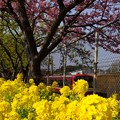 写真: 河津桜~三浦海岸~ 052