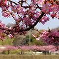 写真: 河津桜~三浦海岸~ 065
