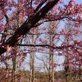 写真: 河津桜~三浦海岸~ 067