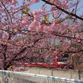 写真: 河津桜~三浦海岸~ 068
