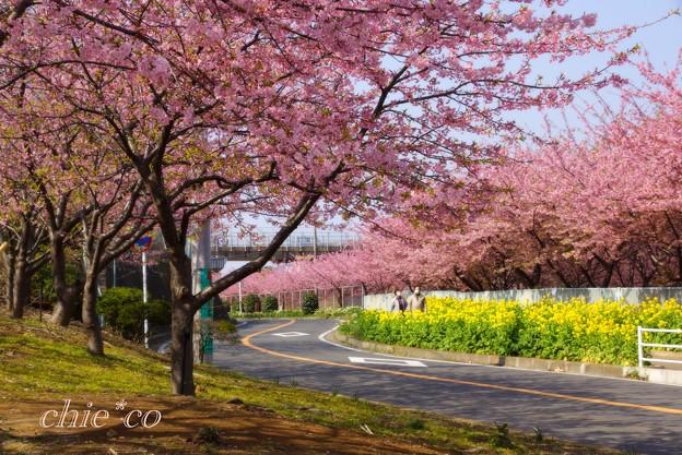 写真: 河津桜~三浦海岸~ 069