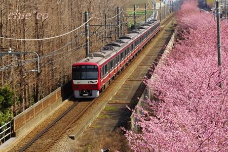 河津桜~三浦海岸~ 077