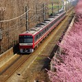 写真: 河津桜~三浦海岸~ 077