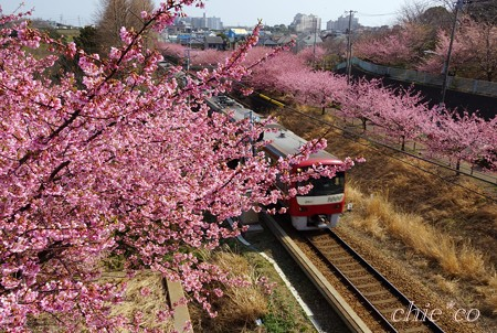河津桜~三浦海岸~ 084