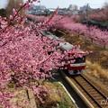 写真: 河津桜~三浦海岸~ 084