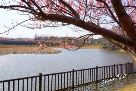 河津桜~三浦海岸~ 174