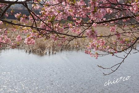河津桜~三浦海岸~ 176