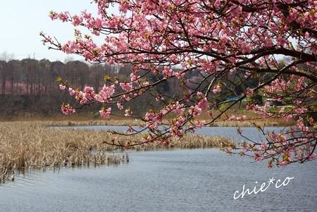 河津桜~三浦海岸~ 181