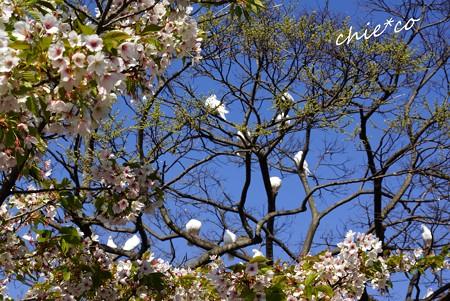 白い鳩たちと桜・・