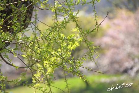 若葉 greenと・・桜 pink・・
