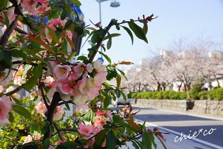 木瓜と桜が彩る・・若宮大路・・