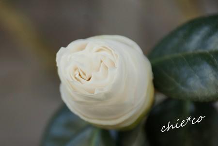 純白の椿・・2