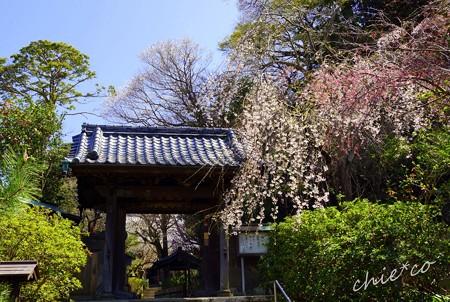 桜彩の安国論寺..1