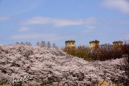 桜 Yokohama 004