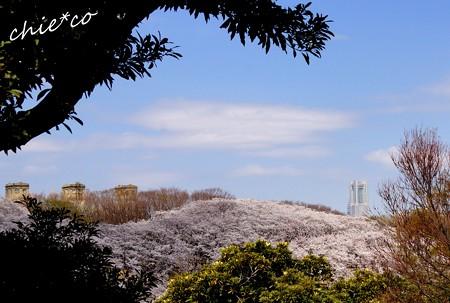 桜 Yokohama 007