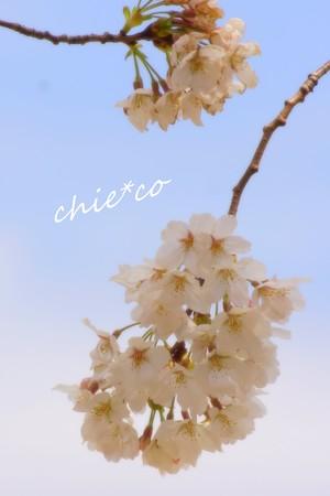 桜 Yokohama 026