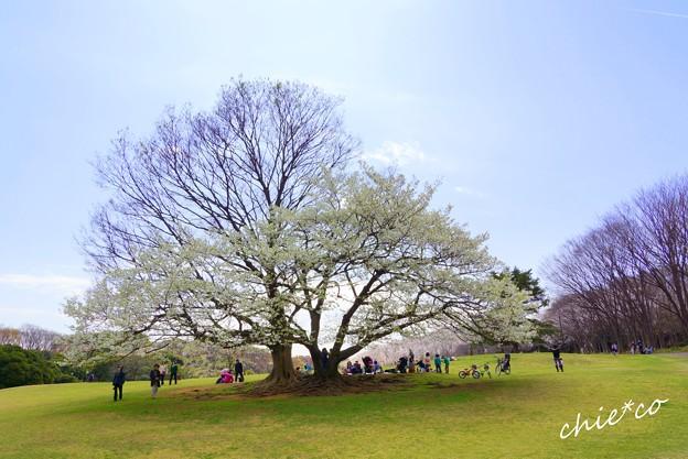 桜 Yokohama 030