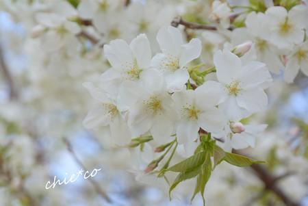 白い桜花・・
