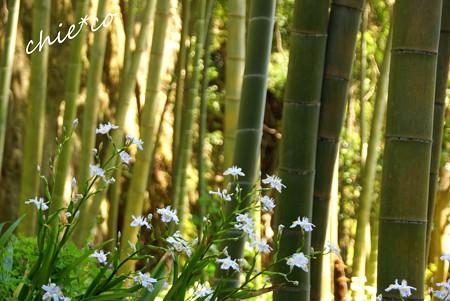 竹とシャガ・・