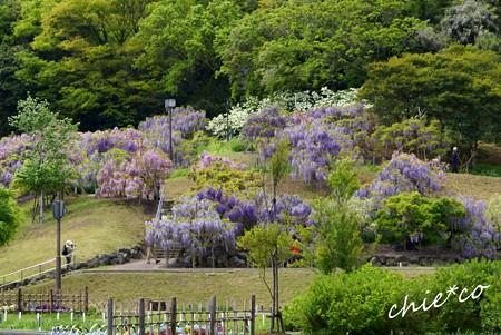 藤~横須賀しょうぶ園 1