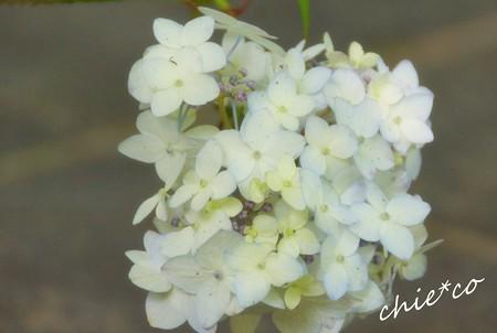 紫陽花・・