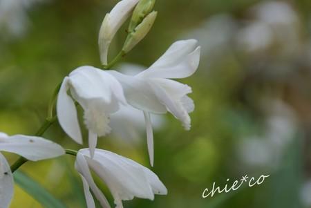 白花紫蘭(しらん)・・