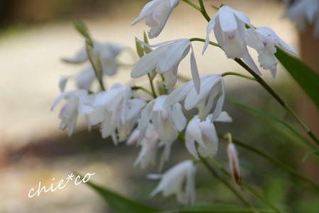 白花紫蘭・・