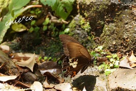 水を飲む蝶・・