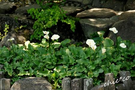 池に咲く・・カラー・・