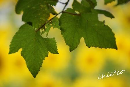 葡萄の葉・・1