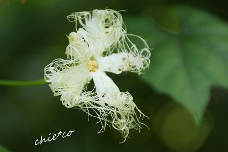 カラスウリの花・・