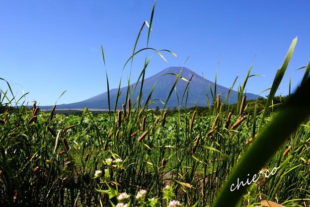蒲の穂(ガマノホ)の向こうの富士山・・