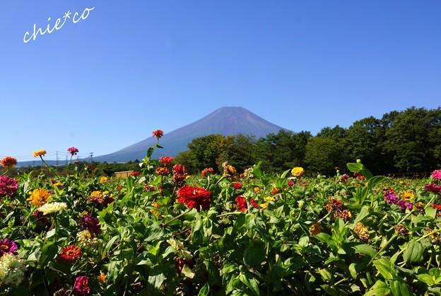 ジニアの向こうの富士山・・