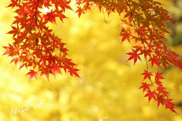 紅の彩・・銀杏の黄いろのなかに・・