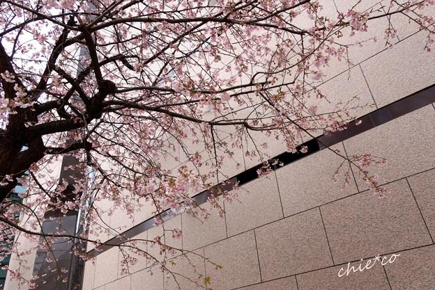 大寒桜-002