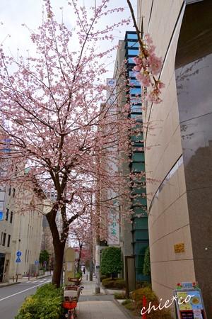 大寒桜-005
