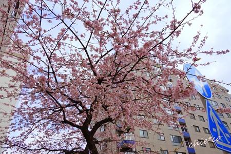 大寒桜-006