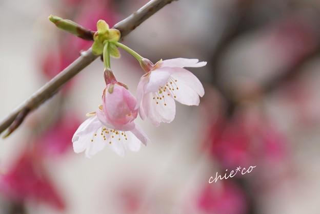 大寒桜-029