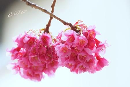 大寒桜-040