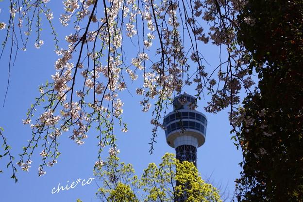 山下公園のしだれ桜-007