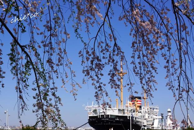 山下公園のしだれ桜-010