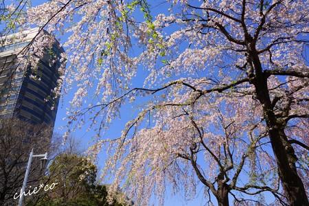 山下公園のしだれ桜-011