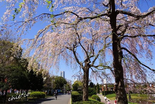 山下公園のしだれ桜-012