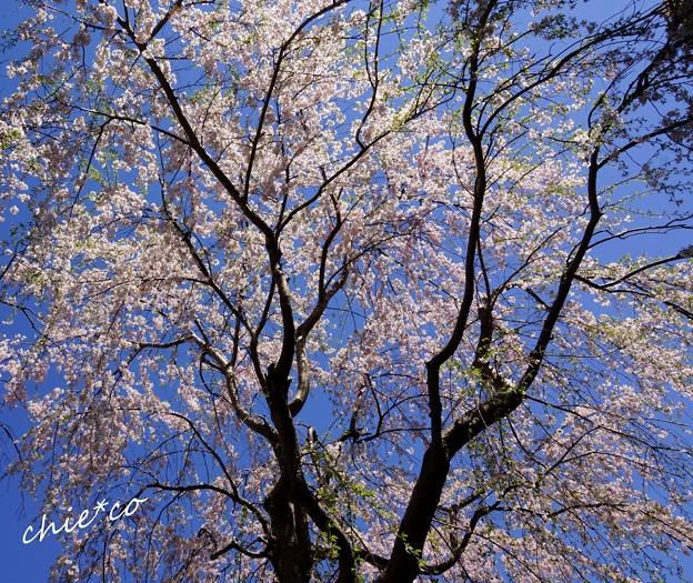 山下公園のしだれ桜-014